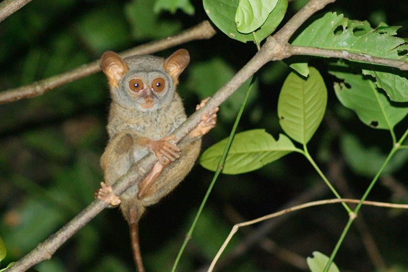 Tumpara (Tarsius tumpara) is an endemic primate of Siau Islan, North Sulawesi